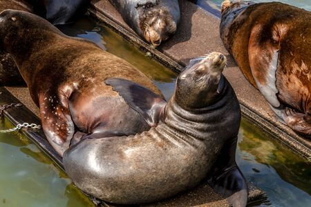 salmon run: Sea lion posing in sun on pier in river off northwest coast of the Pacific ocean Stock Photo