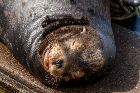 Close up of sea lion resting on pier in river off northwest coast of the Pacific ocean