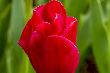 Close up of petals of red tulip in tulip field on flower bulb farm looking up at sky