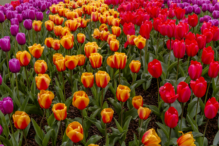 Colorful rows of tulip flower varieties in tulip field on flower bulb farm Stock Photo