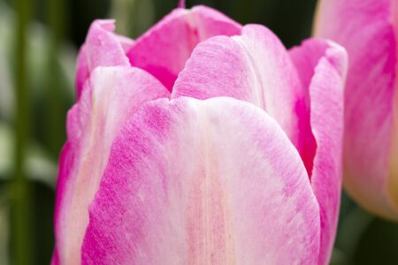 Close up of petals of pink and white tulip in tulip field on flower bulb farm