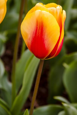 Close up of orange and yellow tulip in tulip field on flower bulb farm