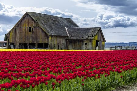 bulb tulip: Rows of red and yellow tulip flowers in front of rustic old farm building on tulip bulb farm