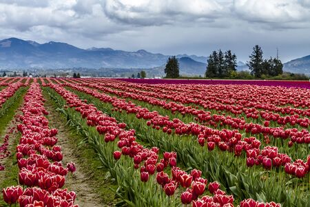Rows of red and purple tulip flowers on tulip bulb farm on rainy afternoon Stock Photo