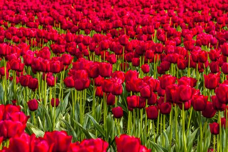 Rows of red tulip flowers on tulip bulb farm on sunny afternoon Stock Photo