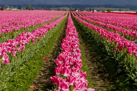 bulb tulip: Rows of pink and white tulip flowers on tulip bulb farm on sunny afternoon