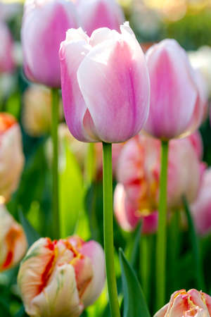 Close up of  pink and white tulip flower stem in tulip field on flower bulb farm
