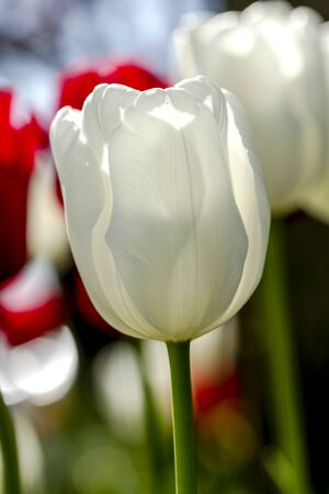 Close up of white tulip flower stem backlit by the sun in tulip field on flower bulb farm Stock Photo