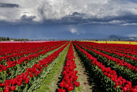 Rows of yellow, red and pink tulips on tulip farm with thunderstorm forming in the distance