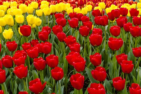 bulb tulip: Colorful rows of red, yellow and orange tulip flower varieties in tulip field on flower bulb farm