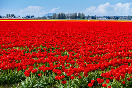 Rows of red and yellow tulip flowers on tulip bulb farm Stock Photo