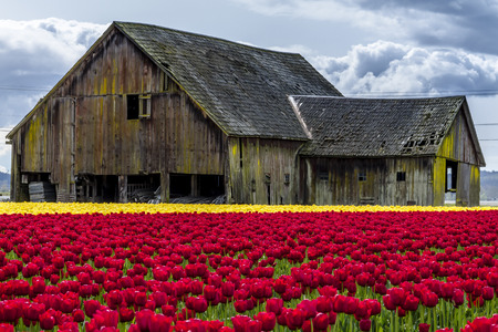 farm building: Rows of red and yellow tulip flowers in front of rustic old farm building on tulip bulb farm