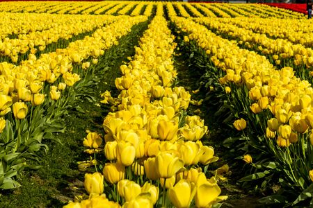 bulb tulip: Rows of yellow and red tulip flowers on tulip bulb farm on sunny afternoon