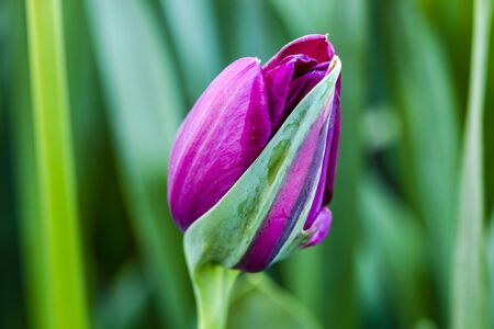 Close up of purple and green striped tulip bud in tulip field on flower bulb farm