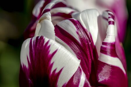 Close up of petals of purple and white tulip flower stem Stock Photo