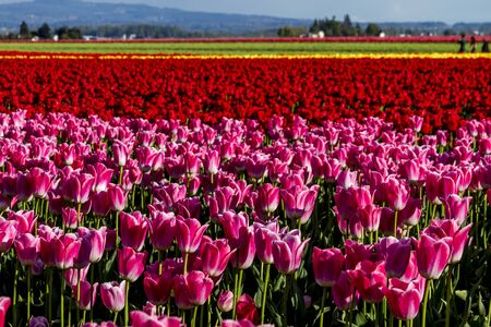Rows of colorful tulip stems lit by the sun on tulip bulb farm