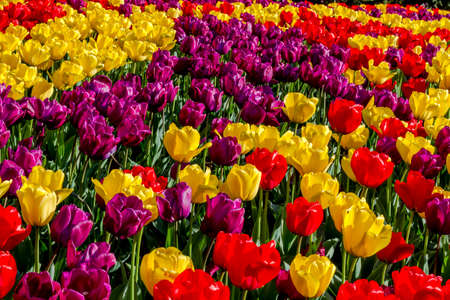 Colorful rows of tulip flower stems lit by the sun on tulip bulb farm