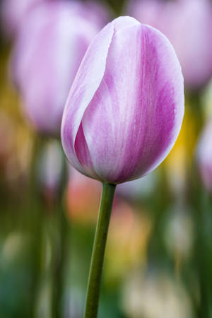 Close up of pale pink and white tulip flower stems in tulip field on flower bulb farm Stock Photo