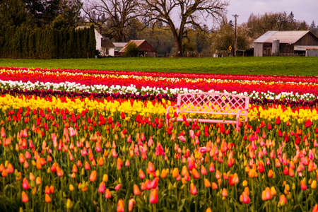 Pink metal park bench sitting in tulip field on tulip farm on cloudy morning Stock Photo