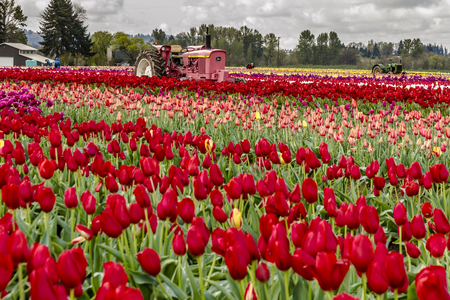 Antique pink farm tractor sitting in tulip field on cloudy morning