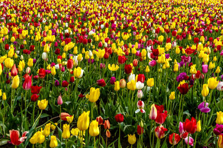 Large field of multi-colored tulips blooming on tulip bulb farm Stock Photo