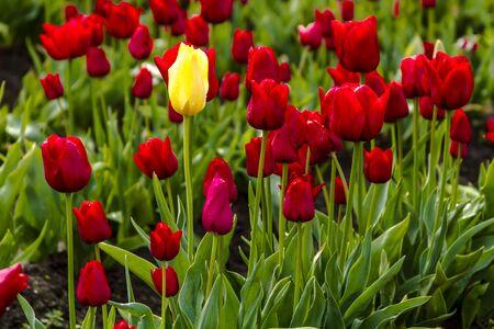 tulip: Jeden żółty tulipan macierzystych wśród czerwony tulipan łodygi w polu na farmie tulipanów Zdjęcie Seryjne
