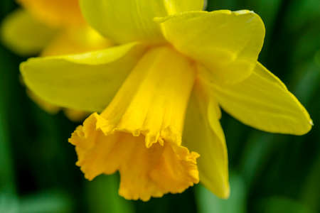 Close up of yellow daffodil blooms in field on flower bulb farm