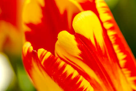 Close up of petals of  yellow and orange tulip flower