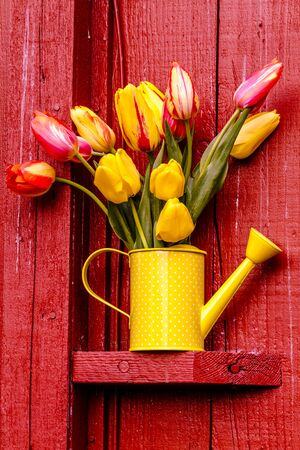 polka dotted: Yellow and orange tulip stems in yellow polka dotted watering can sitting sitting on outdoor shelf on red barn Foto de archivo