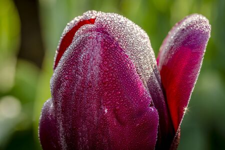 Close up of petals of dark purple (black) tulip buds covered with tiny drops of water from morning dew