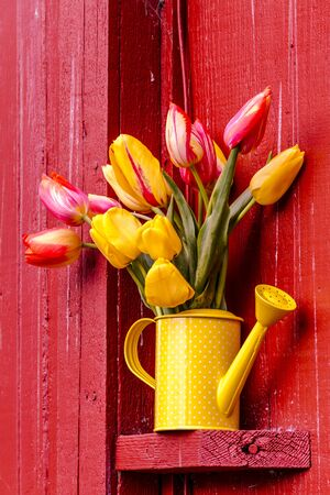 polka dotted: Yellow and orange tulip stems in yellow polka dotted watering can sitting sitting on outdoor shelf on red barn Stock Photo
