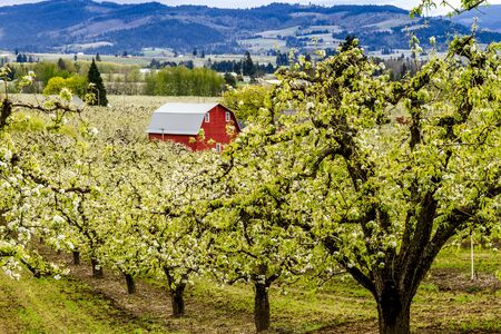 Bright red barn in blooming pear orchards on cloudy spring day photo