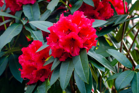 blooms: Red Rhododendron blooms on bush