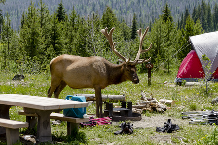 campground: Large bull elk with full set of antlers in summer velvet visiting campsite with red tent in forest campground on summer afternoon Stock Photo