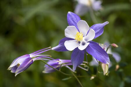 rocky mountain: Close up blue Columbine wildflower blooms in mountain Aspen forest in early morning light