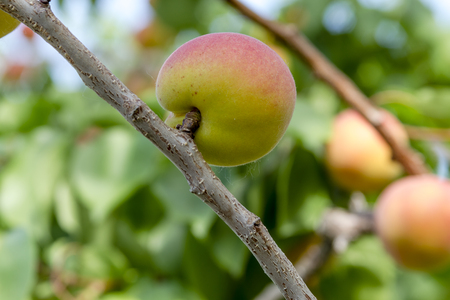 Single ripe apricot ready for harvest hanging on tree branches in orchard on summer afternoon
