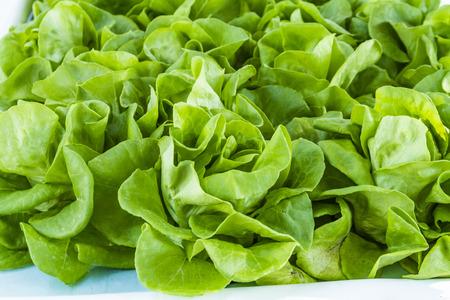 bib: Fresh organic bib lettuce