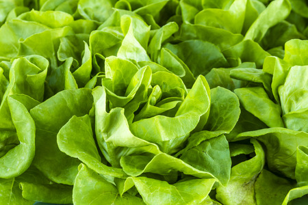 bushel: Fresh organic bib lettuce
