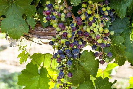 uvas vino: Hermoso racimo de multicolores uvas de vino tinto de maduraci�n en la vid Foto de archivo