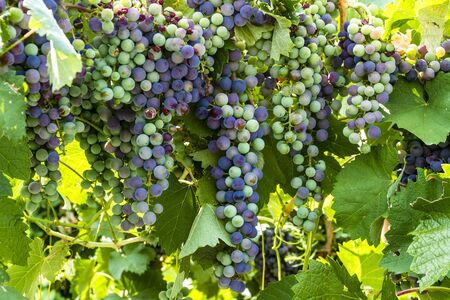 western slope: Multiple bunches of red wine grapes ripening on grapevine in vineyard