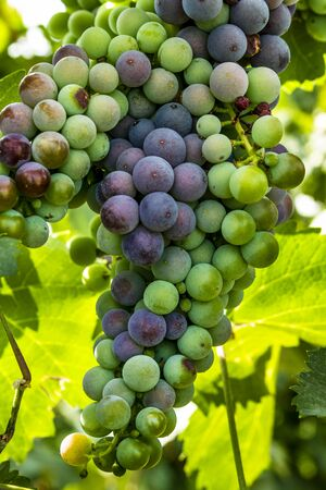 western slope: Large bunch of red wine grapes ripening on grapevine in vineyard
