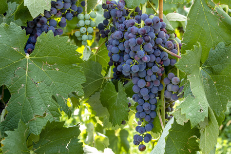 western slope: Red wine grapes hanging on grapevine with leaves Stock Photo