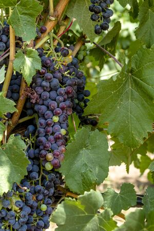 western slope: Large bunch of multi-colored red wine grapes ripening on grapevine with leaves