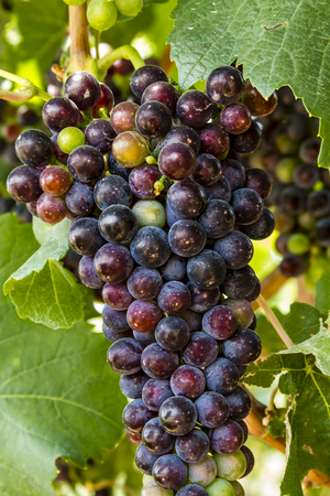 western slope: Red wine grapes ripening on grapevine with leaves Stock Photo