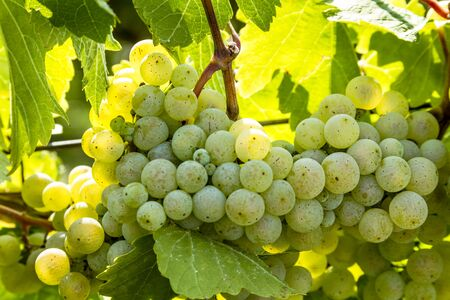 western slope: Large bunch of white wine grapes hanging on vine back lit by afternoon sun Stock Photo
