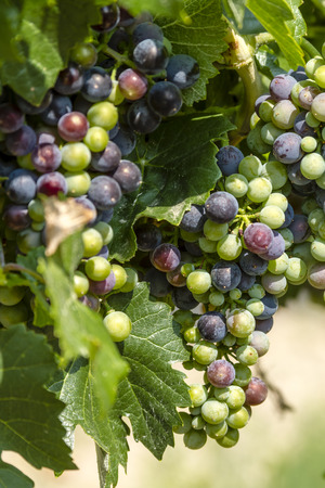 western slope: Bunches of multi-colored red wine grapes ripening on grapevine in morning sunlight Stock Photo