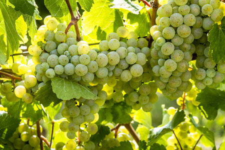 western slope: Large bunches of white wine grapes hanging on vine back lit by afternoon sun