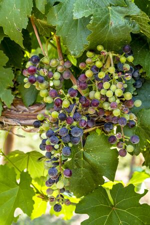 western slope: Large bunch of multi-colored red wine grapes ripening on grapevine backlit by afternoon sun