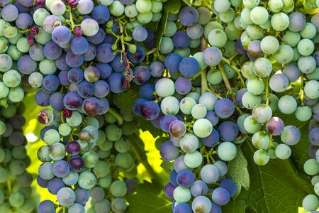 western slope: Close up of multiple bunches of red wine grapes ripening on grapevine in vineyard Stock Photo