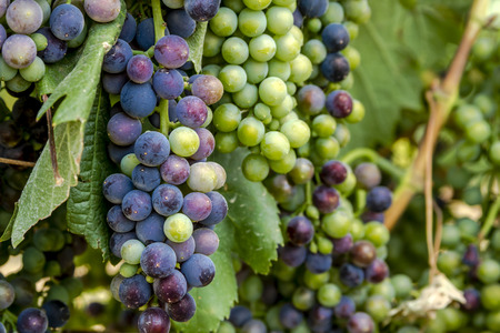 western slope: Close up of bunches of multi-colored red wine grapes hanging on grapevine on summer afternoon